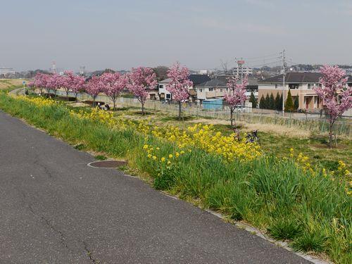 2018年 江戸川 菜の花スポット公開します