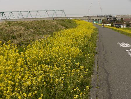 江戸川の菜の花は今がピークです