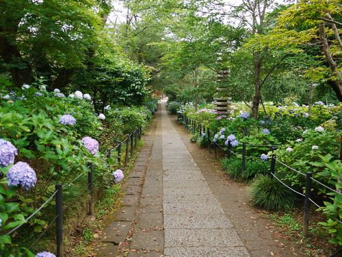 松戸散歩 あじさい寺として有名な本土寺に紫陽花を見に行く