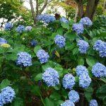 北小金のあじさい寺・本土寺の紫陽花(あじさい)の開花状況はテレフォンサービスでわかります