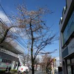 桜 開花情報 常盤平
