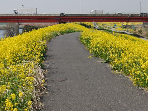 江戸川菜の花